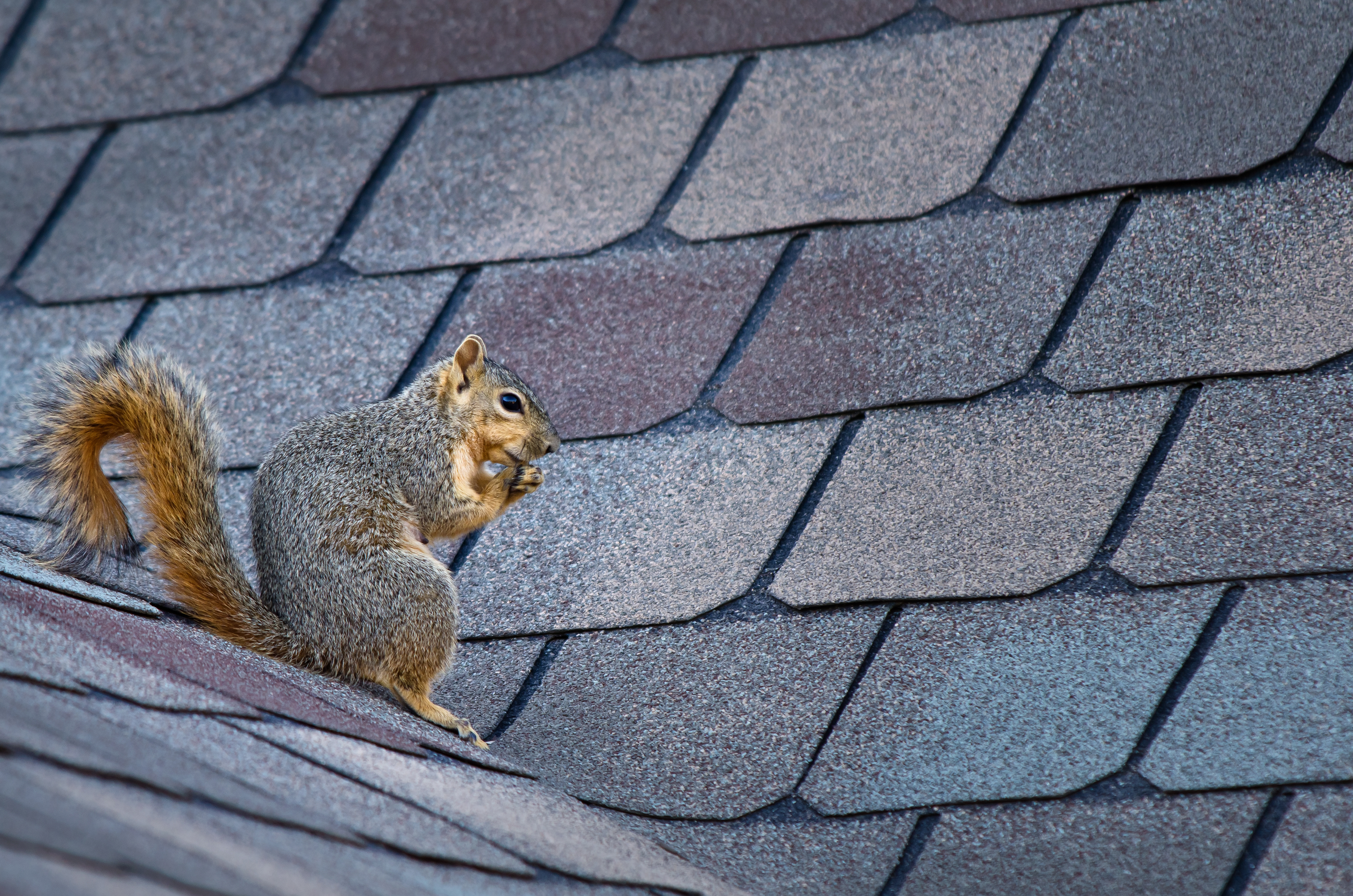 Squirrel sitting on the roof