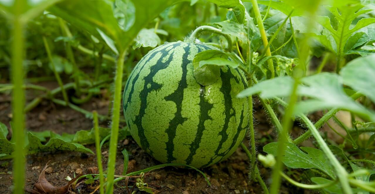 watermelon in home fruit garden