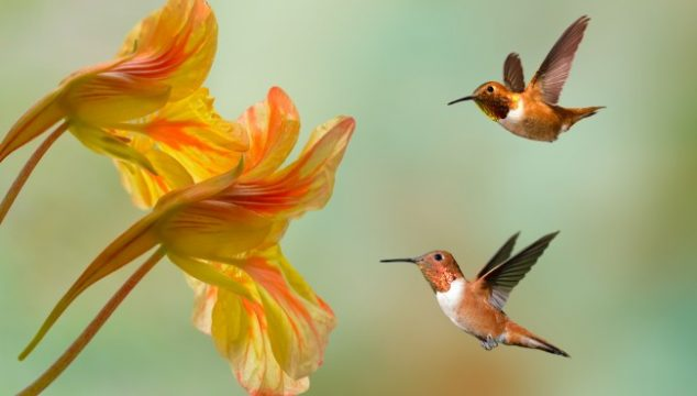 Hummingbirds getting nectar