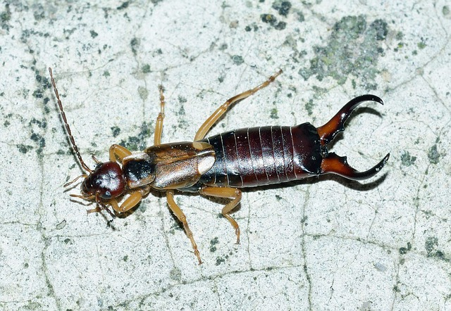 Earwig Pest Control Info Safety Tips Amp Techniques