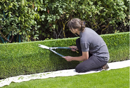 Woman trimming hedges