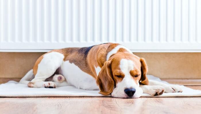 family dog on carpet on hardwood floors