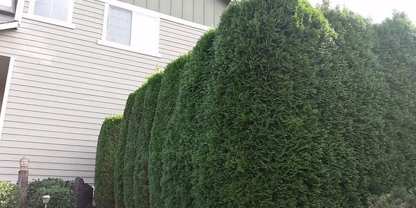 A Privacy Hedge Provides All The Benefits Of Fence While Keeping Your Yard Looking Natural And Beautiful But When It Comes To Installing Row Plants