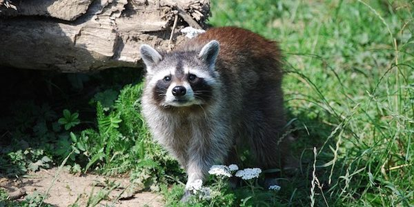 Raccoon Control | Raccoon Pest Control on raccoon in bedroom, raccoon in bed, raccoon in kitchen, raccoon in attic, raccoon in garage, raccoon in paint, raccoon in space, raccoon in room, raccoon in box, raccoon in office, raccoon in sink, raccoon in building, raccoon in water, raccoon in bathroom, raccoon in log, raccoon home, raccoon in bath, raccoon in wall, raccoon in the floor, raccoon in chair,