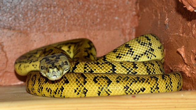 Yellow & black snake