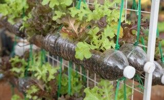 growing lettuce in used plastic bottles, reuse recycle eco concept