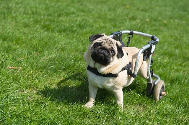Handicapped pug dog with wheels in a yard