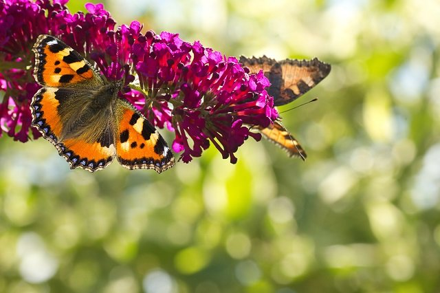 Small tottoiseshell butterflies on Butterfly bush