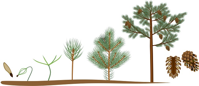 Pine tree life cycle graphic