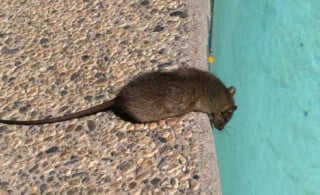 Mouse Looking Into Swimming Pool