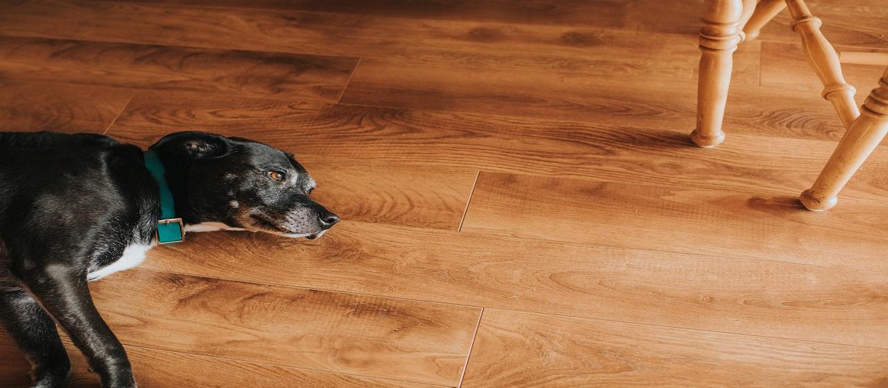 Sleeping Dog on Laminate Floor