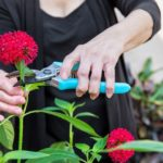 Arthritis Arthritic Seniors hands cutting Flowers in a garden