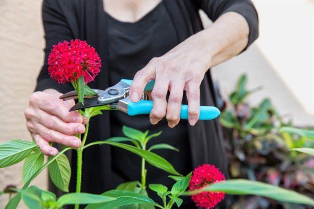 Arthritis Arthritic Seniors hands cutting Flowers in a garden