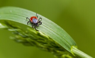 tick on an living plant leaf