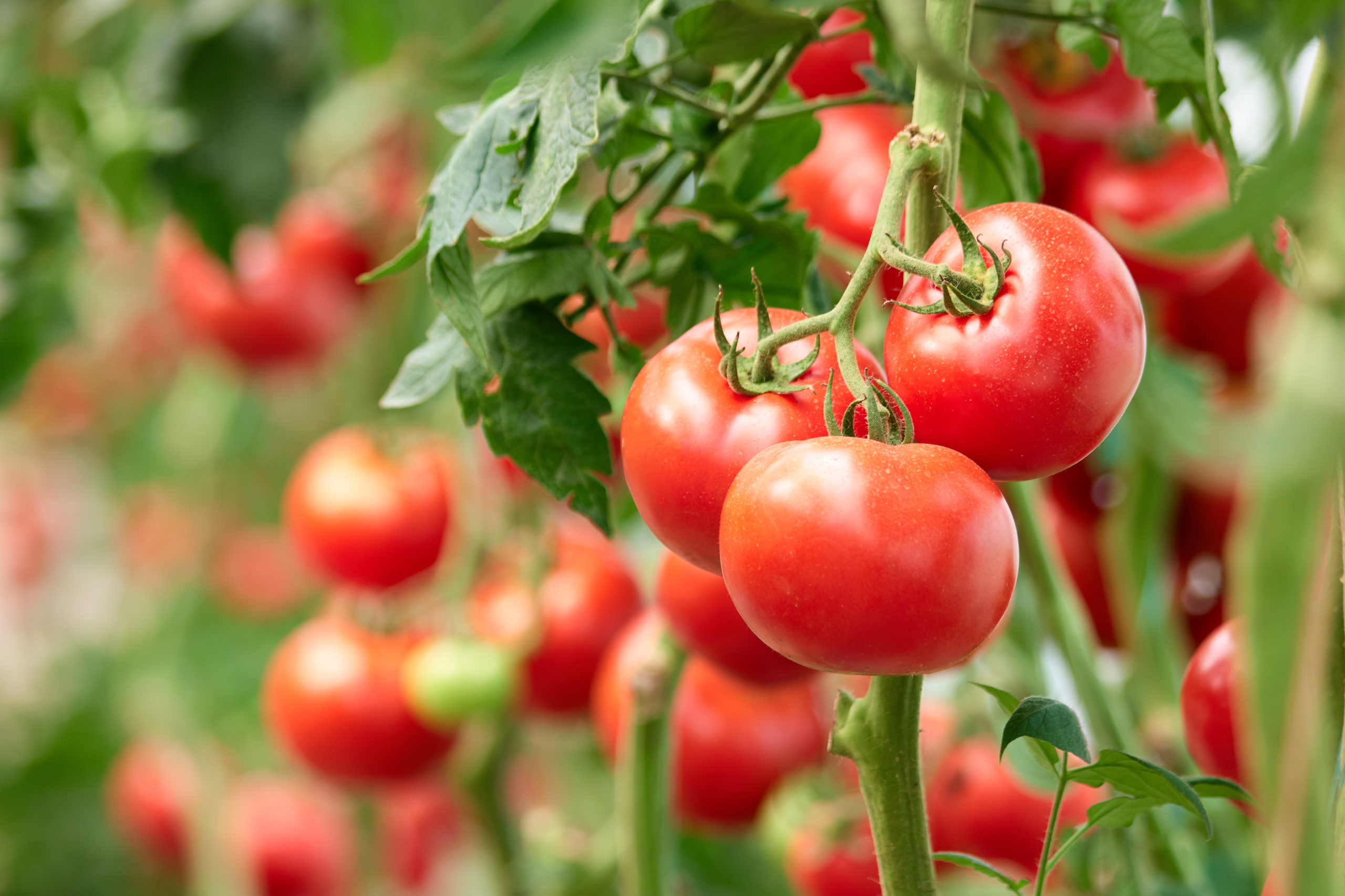 Homegrown tomatoes on the vine