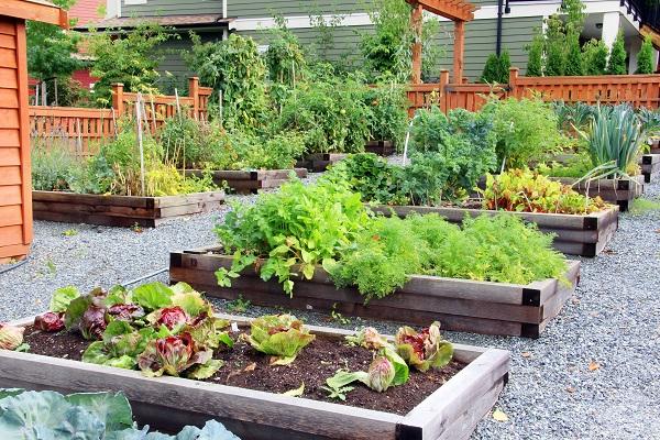 Raised garden beds growing vegetables