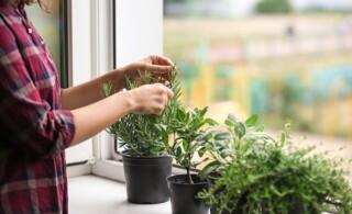 Woman cutting fresh homegrown rosemary on windowsill
