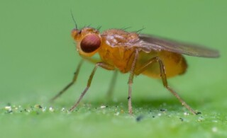 fruit fly close-up