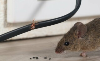 close-up of a mouse chewing a wire inside a house