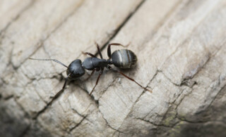 Close-up of black carpenter ant