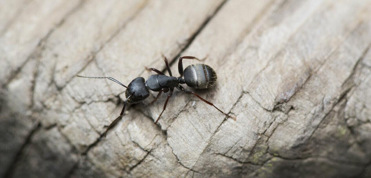 Close-up of black carpenter ant